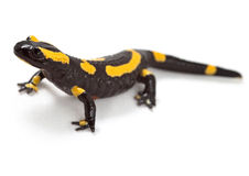 Fire newt or salamander Royalty Free Stock Photo