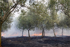 Fire in olive grove Royalty Free Stock Photos