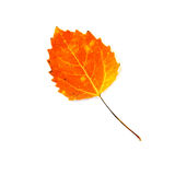 Fire Orange Aspen Leaf Isolated on White Stock Photography
