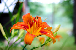 Fire orange tiger lily in late morning summertime. Royalty Free Stock Photo
