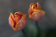 Fire orange tulips, close up, focus on left tulip, fading to bac Royalty Free Stock Photos