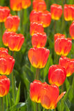 Fire orange and yellow tulips Royalty Free Stock Photography