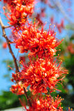Fire of Pakistan flower blossom Royalty Free Stock Photos