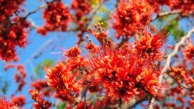 Fire of Pakistan flower blossom Stock Photo