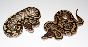 Fire Phantom and Fire Royal Python Royalty Free Stock Image