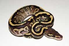 Fire Phantom Royal Python hatchling Royalty Free Stock Photos