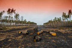 Fire in a pine forest Stock Images