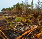 Fire in a pine forest Stock Photography