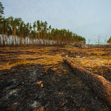 Fire in a pine forest Royalty Free Stock Images