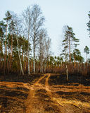 Fire in a pine forest Stock Image