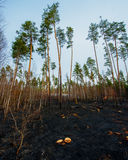 Fire in a pine forest Royalty Free Stock Image