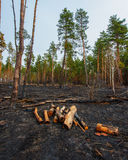 Fire in a pine forest Royalty Free Stock Photo
