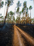 Fire in a pine forest Stock Photos