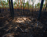 Fire in a pine forest Royalty Free Stock Photos