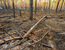 Fire in a pine forest Royalty Free Stock Photography
