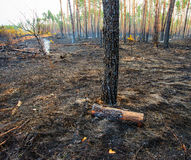 Fire in a pine forest Stock Photo