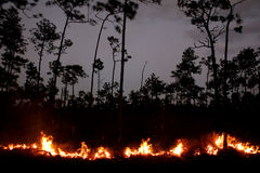 A Fire in a Pine Forest Royalty Free Stock Photo