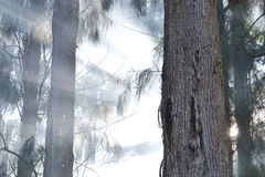 Fire in the pine grove Stock Photography