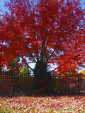 Fire Red. Fall leaves in a bright red Stock Images