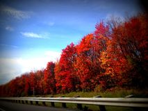 Holiday red foliage on a row of trees leaf peeping road trip. Leaves on a row of trees in fire red vibrant color fall changing color and a blue sky holiday Royalty Free Stock Photography