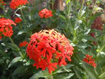 Fire-red flowers in the morning ligght. Royalty Free Stock Image
