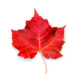 Fire Red Maple Leaf Isolated on White. A close up of a fire red maple autumn leaf isolated on a white background Royalty Free Stock Images