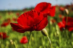 Fire red poppy royalty free stock images