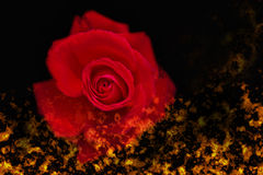 Fire and red rose Royalty Free Stock Photos
