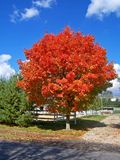 Fire Red Tree. This is a vibrantly colored fall tree located on a horse farm in NJ stock images