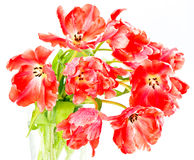 Fire-red tulips. spring flowers Royalty Free Stock Photos
