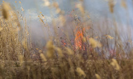 Fire in the Reed. Flames started growing in the reed Stock Photo