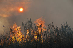 Fire in the reeds. Royalty Free Stock Images