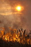 Fire in the reeds. Stock Photography
