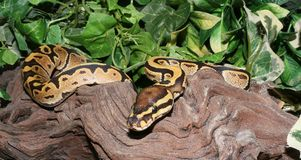 Fire Royal Python hatchling in foliage Royalty Free Stock Images