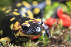 Fire Salamander. (Salamandra salamandra) on moss background royalty free stock photo