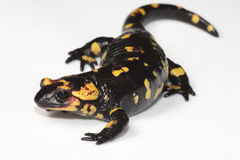 Fire Salamander. (Salamandra salamandra) on a white background stock image