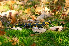 Fire salamander Stock Photos