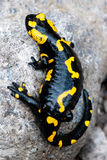 Fire Salamander. (Salamandra salamandra. Salamandra maculosa) on natural background Royalty Free Stock Photos