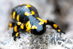 Fire Salamander. (Salamandra salamandra. Salamandra maculosa) on natural background Royalty Free Stock Image