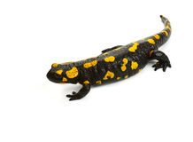 Fire Salamander-2 Royalty Free Stock Images