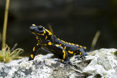 Fire Salamander. (Salamandra salamandra) on the rock Royalty Free Stock Image