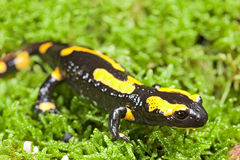 Fire salamander. Bright colored amphibian and poisonous animal with warning colors terrestrial newt salamandra Stock Photos