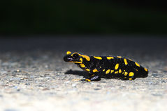 Fire Salamander. A fire salamander enjoying the sun Stock Photo