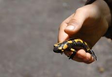 Fire salamander Stock Images