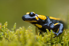 Fire salamander Royalty Free Stock Images