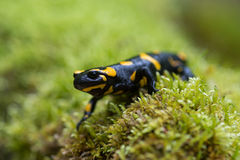 Fire salamander Stock Photography