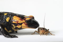 Fire Salamander eating a brown cricket. Fire Salamander (Salamandra salamandra) eating a brown cricket on a white background royalty free stock photo