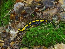 Fire Salamander in the forest stock image