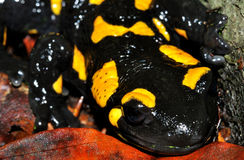 Fire Salamander Full Face Royalty Free Stock Images