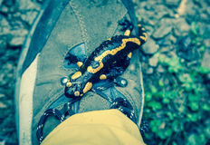 Fire Salamander on hiking boots Stock Photography